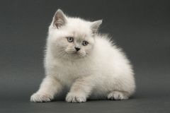Chaton britannique mignon gentil Photo stock