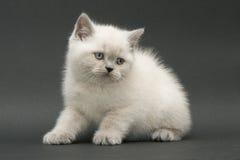Chaton britannique mignon gentil Photo stock
