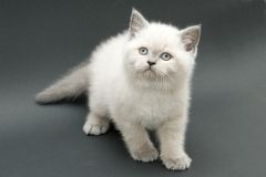 Chaton britannique mignon gentil Photos libres de droits
