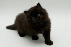 Chaton britannique noir mignon gentil Photo stock