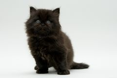 Chaton britannique noir mignon gentil Images libres de droits