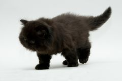 Chaton britannique noir mignon gentil Photos libres de droits