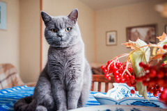 Chaton britannique se reposant sur la table Images stock