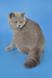 Chaton brittish bleu Image stock