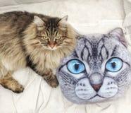 Chaton brun velu de la race sibérienne près d'un oreiller de chat Photographie stock