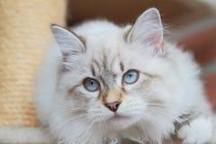 Chaton, chat sibérien Photo libre de droits
