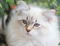 Chaton, chat sibérien Images libres de droits