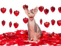 Chaton chauve riant de Sphynx avec les coeurs rouges images stock