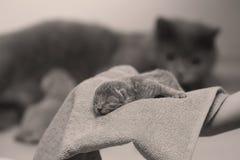 Chaton chez des mains du ` s de la femme sur une serviette Photo stock