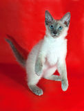 Chaton cornouaillais bouclé de Rex avec des yeux bleus se tenant sur le rouge Image libre de droits