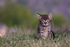 Chaton dans l'herbe verte Images libres de droits
