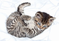 Chaton dans la couverture Photos stock