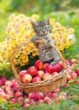 Chaton dans un panier avec des pommes photos libres de droits