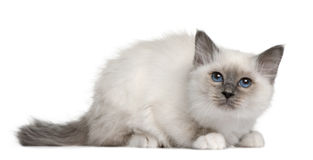 Chaton de Birman (3 mois) Photographie stock
