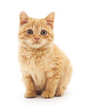Chaton de Brown Image stock