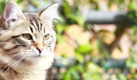 Chaton de Brown de chat, race sibérienne Photographie stock libre de droits