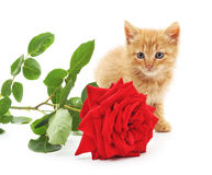 Chaton de Brown et une rose rouge Photos libres de droits