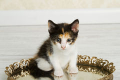 Chaton de calicot Photographie stock libre de droits