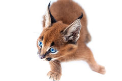 Chaton de Caracal Photographie stock libre de droits