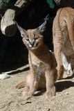 Chaton de Caracal Images libres de droits