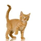 Chaton de chat de gingembre Images libres de droits