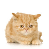 Chaton de chat persan de gingembre Image stock