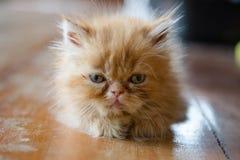chaton de chat persan mignon Photos libres de droits
