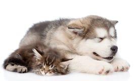 Chaton de chiot de malamute d'Alaska et de ragondin du Maine dormant ensemble D'isolement Photographie stock libre de droits