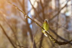 Chaton de floraison de saule avec le pollen Pour le concept d'allergie photographie stock