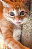 Chaton de gingembre se trouvant sur la couverture de maison regardant l'appareil-photo avec des yeux bleus image stock