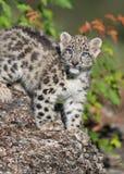 Chaton de léopard de neige Photos stock
