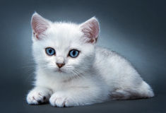 Chaton de la race britannique. Images stock
