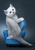 Chaton de la race britannique. Photo libre de droits