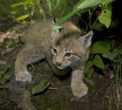 Chaton de lynx Photos libres de droits