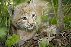 Chaton de lynx Photographie stock