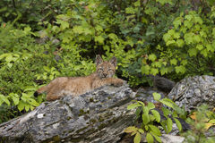 Chaton de lynx Photographie stock