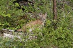 Chaton de lynx sur un logarithme naturel Images stock