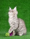 Chaton de Maine Coon Image stock
