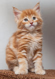Chaton de Maine Coon Photographie stock libre de droits
