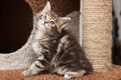 Chaton de Maine Coon Images libres de droits