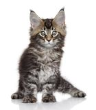 Chaton de Maine Coon Photos libres de droits