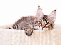 Chaton de Maine Coon Photo stock
