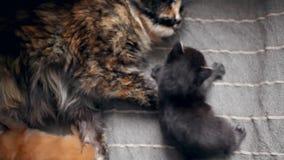 Chaton de Maine Coon avec le chat de maman banque de vidéos