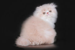 Chaton de Persan d'Extrimal Photographie stock