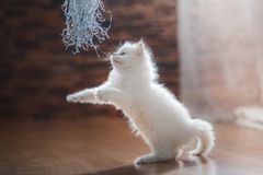 Chaton de point bleu de Ragdoll Photo stock