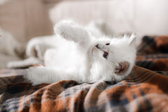 Chaton de point bleu de Ragdoll Image stock