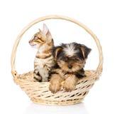 Chaton de race du Bengale et chiot de Yorkshire Terrier se reposant dans le panier Images libres de droits