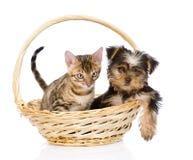 Chaton de race du Bengale et chiot de Yorkshire Terrier se reposant dans le panier Photo libre de droits