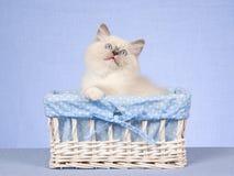 Chaton de Ragdoll dans le cadre de cadeau sur le fond bleu Photo libre de droits