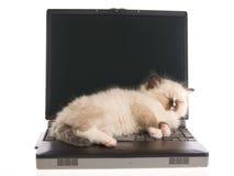 Chaton de Ragdoll dormant sur l'ordinateur portatif sur la BG blanche Photo stock